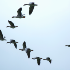 The Call of the Wild is symbolised by a flock of geese flying in formation